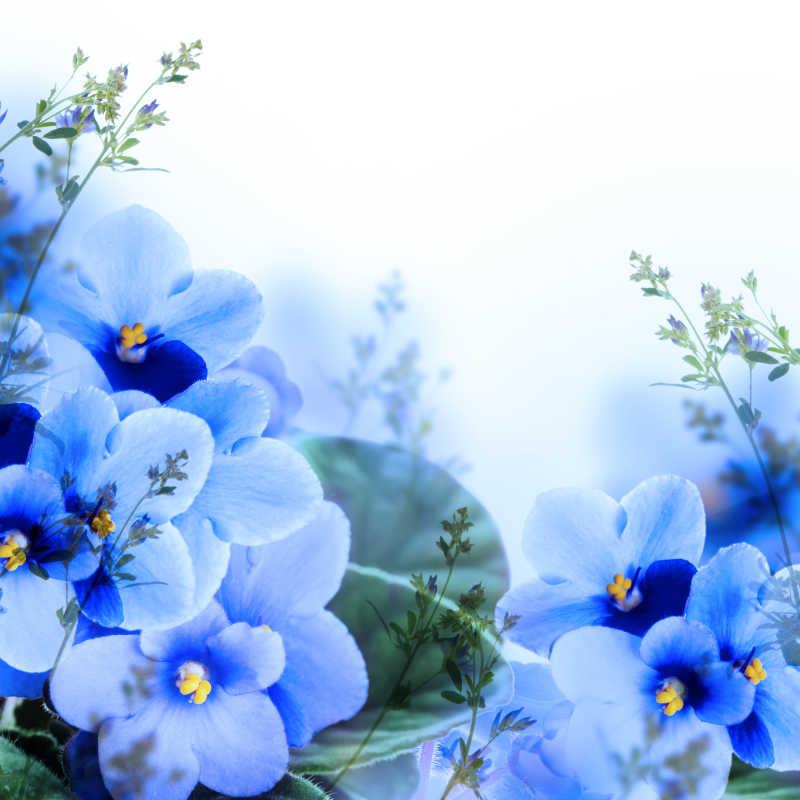 美丽的紫罗兰花朵