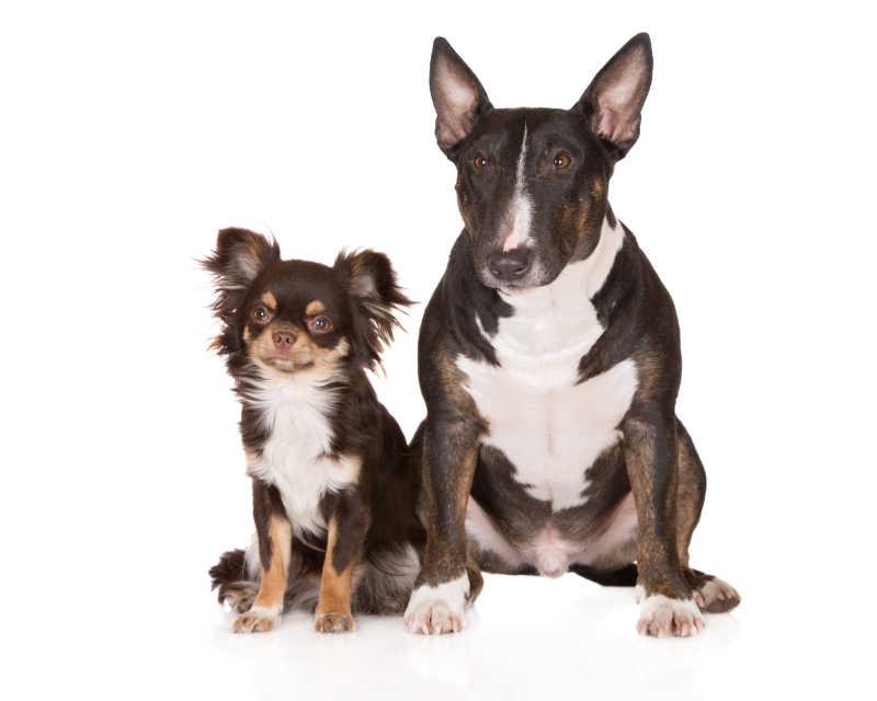 白色背景下的英国斗牛犬和奇瓦瓦犬