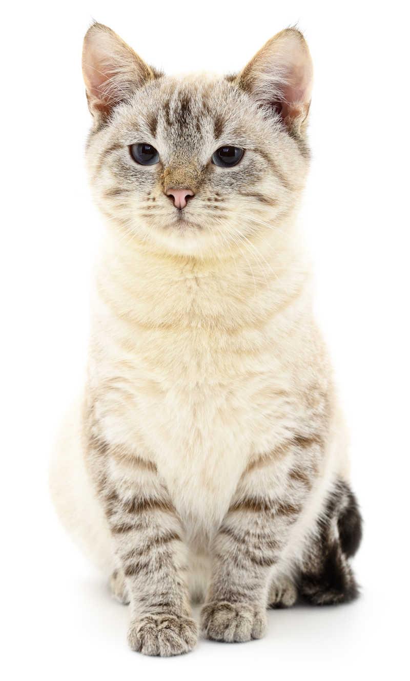 白色背景上的灰色小猫咪