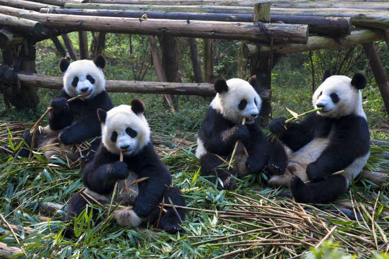 动物园里的熊猫家族