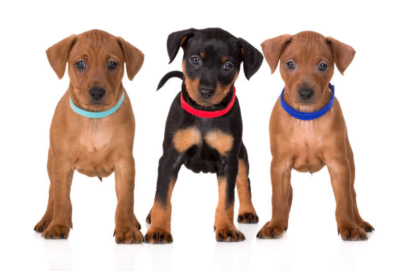 戴着不同颜色项圈的宠物幼犬