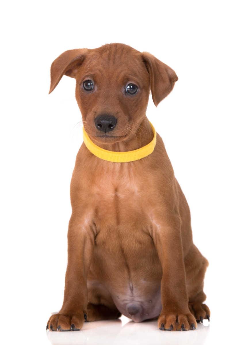 戴着黄色项圈的宠物幼犬