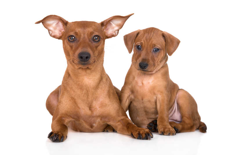 两条宠物猎犬