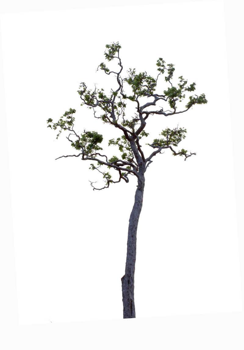 白色背景中长出新枝绿叶的小树