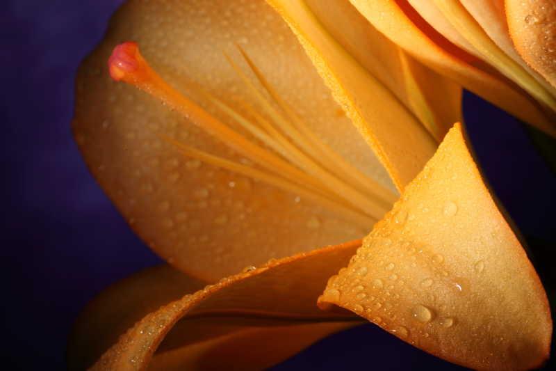 花瓣上的水珠