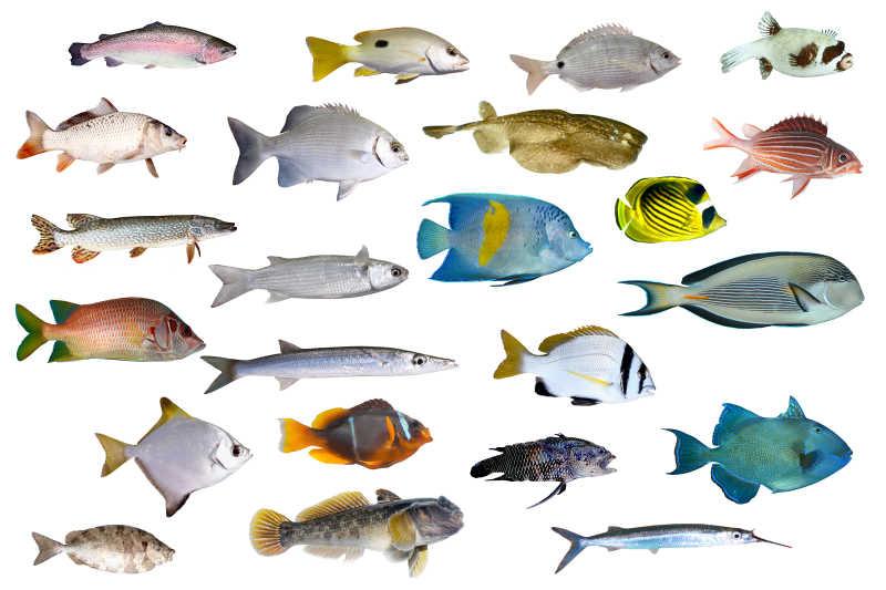 白色背景下热带鱼和海洋鱼类