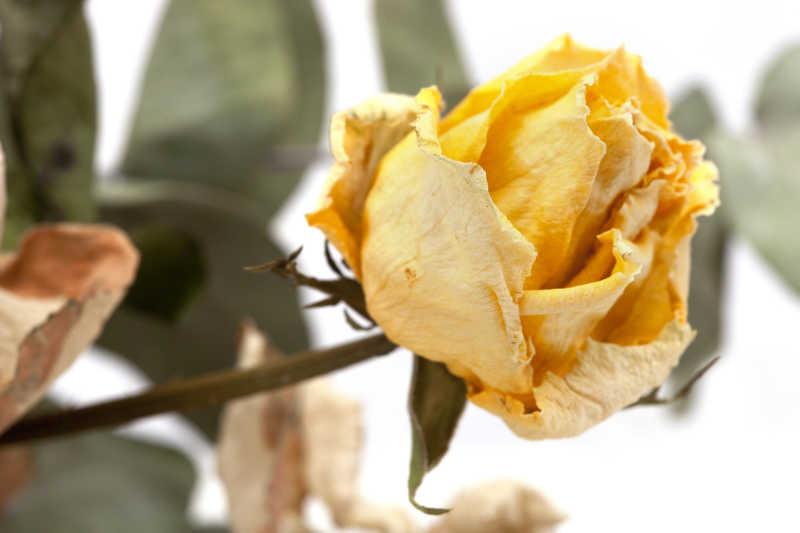 干枯的黄色玫瑰花