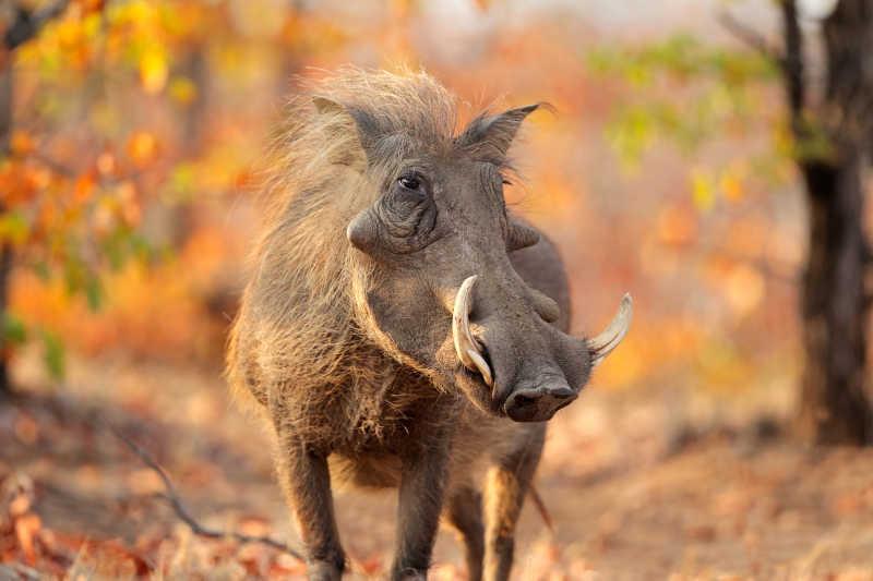 国家公园里的疣猪