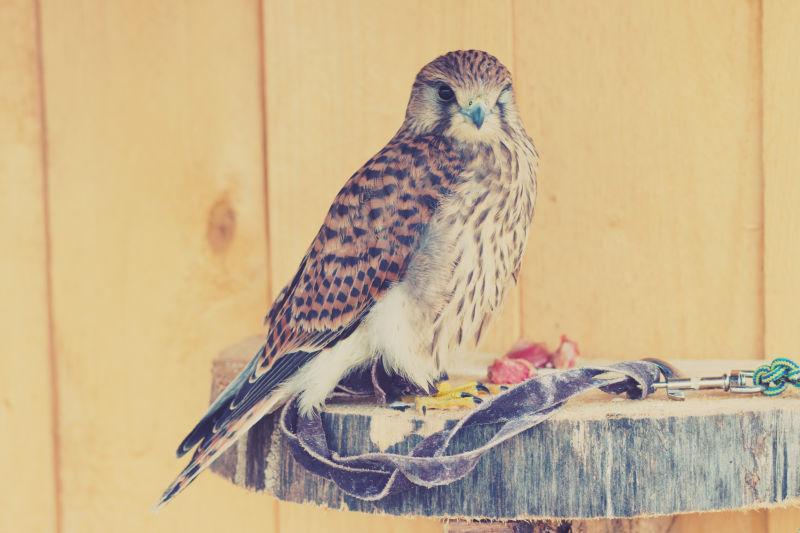 站在木桩上的猫头鹰