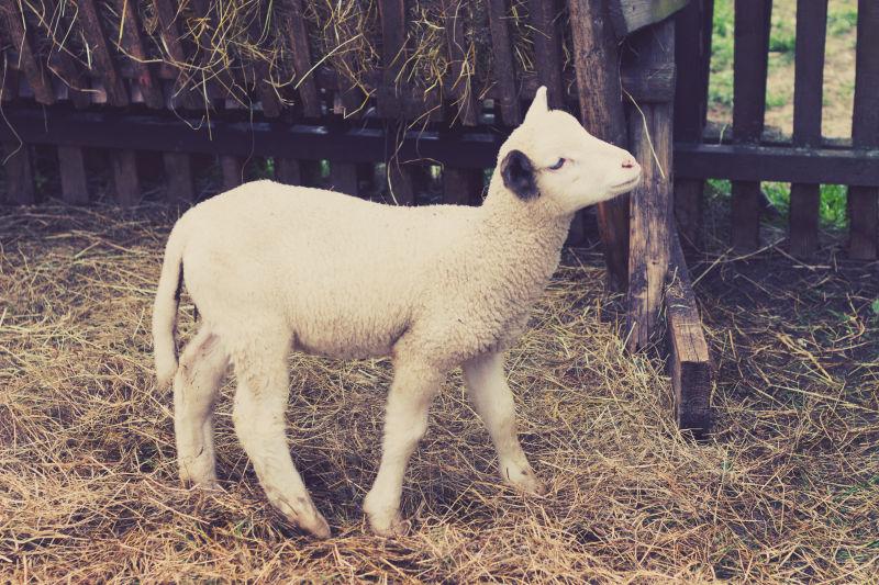围栏里的绵羊