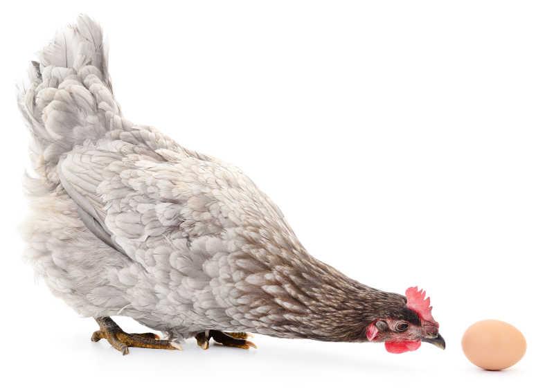 灰色母鸡与鸡蛋