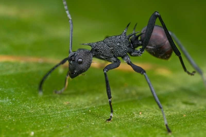 微距镜头下的汤普森多刺蚁