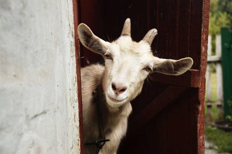 在屋里往外探头的山羊