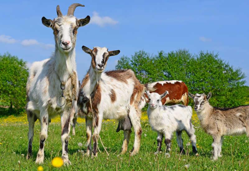 夏季牧场上的山羊