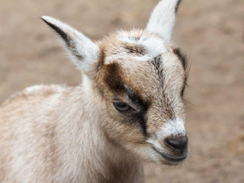 农场里的一只小山羊