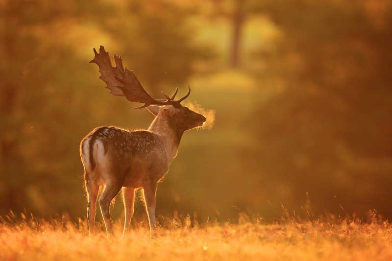 一只鹿在寒冷多雾的早晨