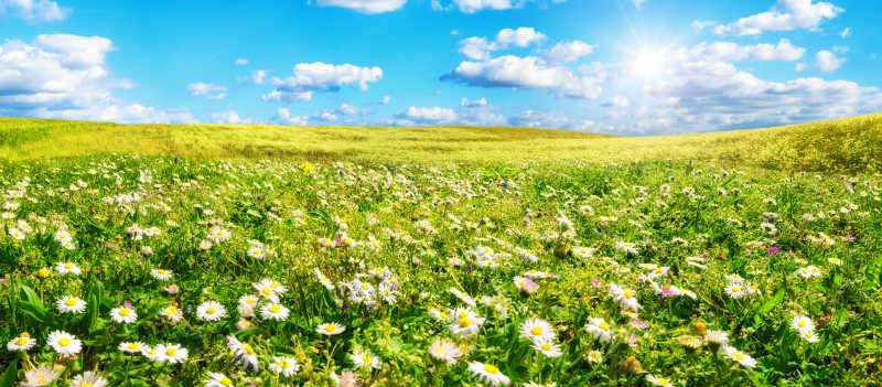 阳光照耀在宽阔的雏菊花