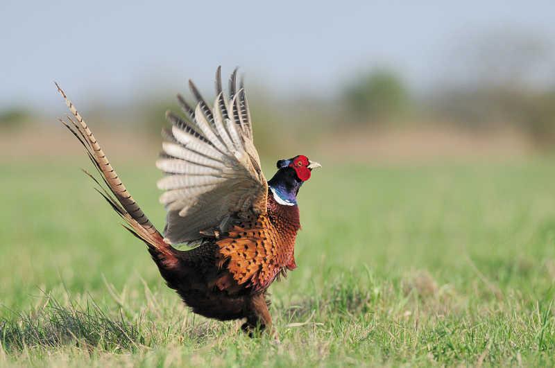 跳舞的野鸡