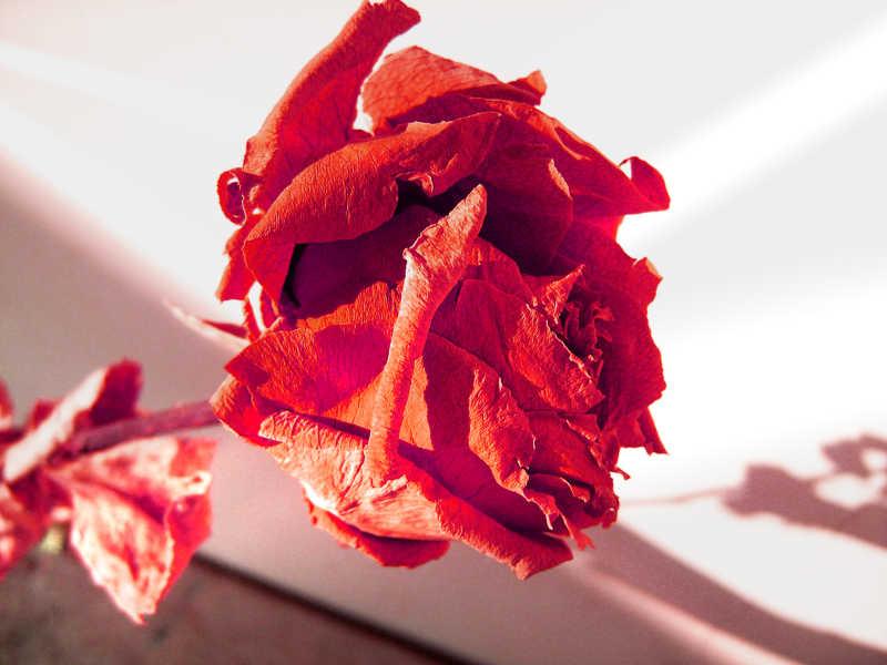 风干的玫瑰的干花