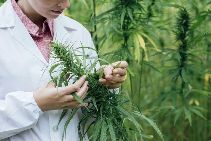 科学家检查大麻花