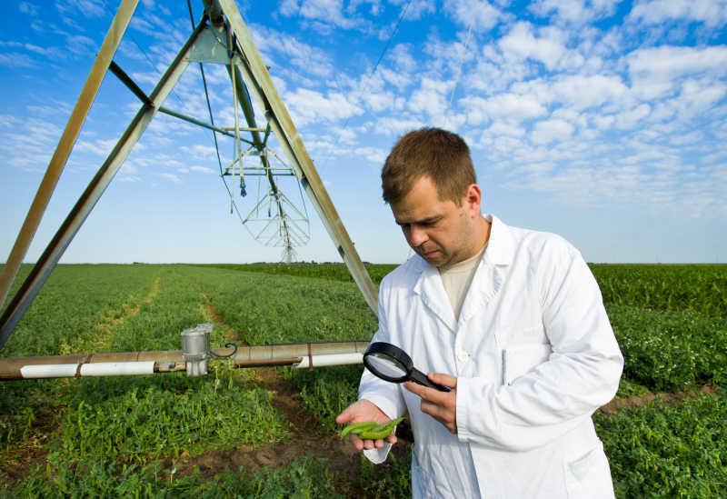 农学家在豌豆田