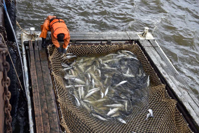 捕捞上来的北极鲑鱼