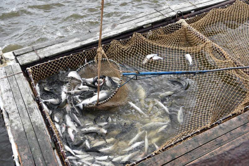 北极鲑鱼捕捞季节