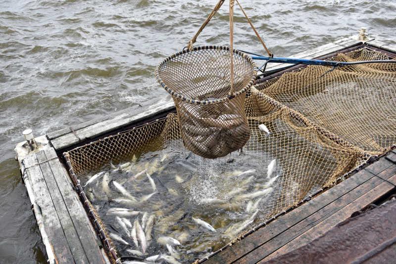 北极鲑鱼捕捞季节的渔船正在捕捞鲑鱼