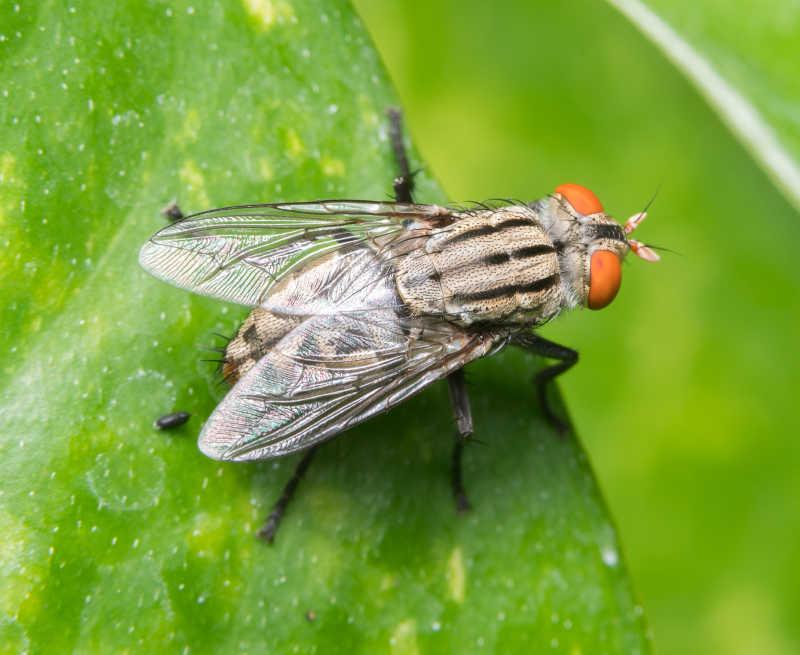 绿色叶子上的苍蝇