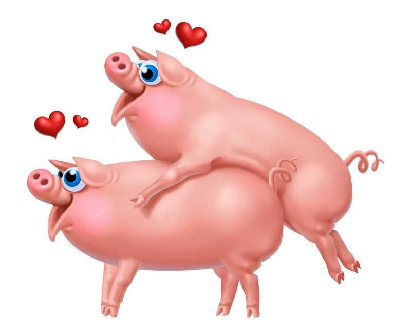 白色背景下两只相爱的猪插图