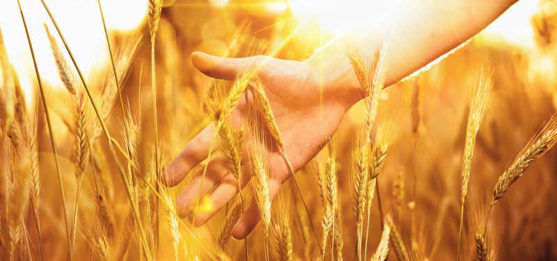 抚摸着金色小麦的手