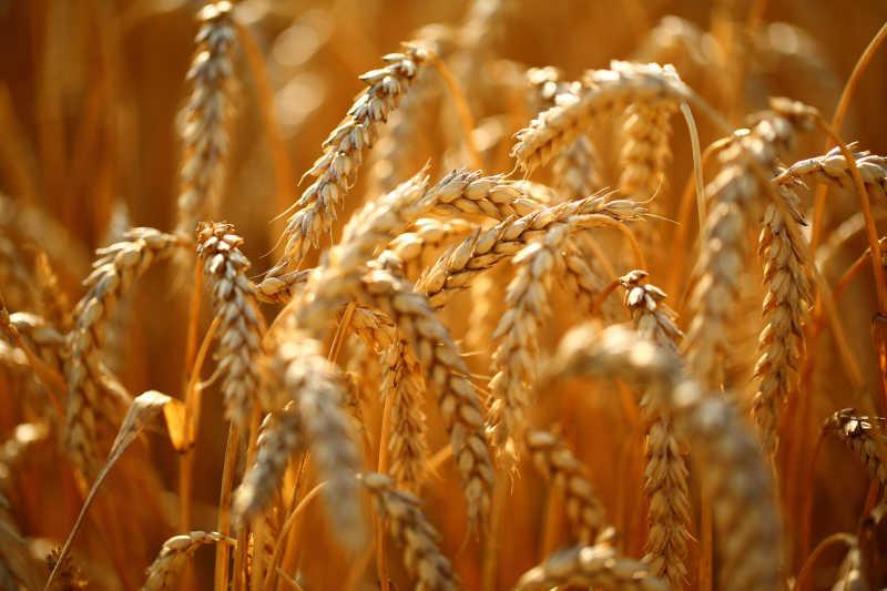 麦田里金黄色的麦穗