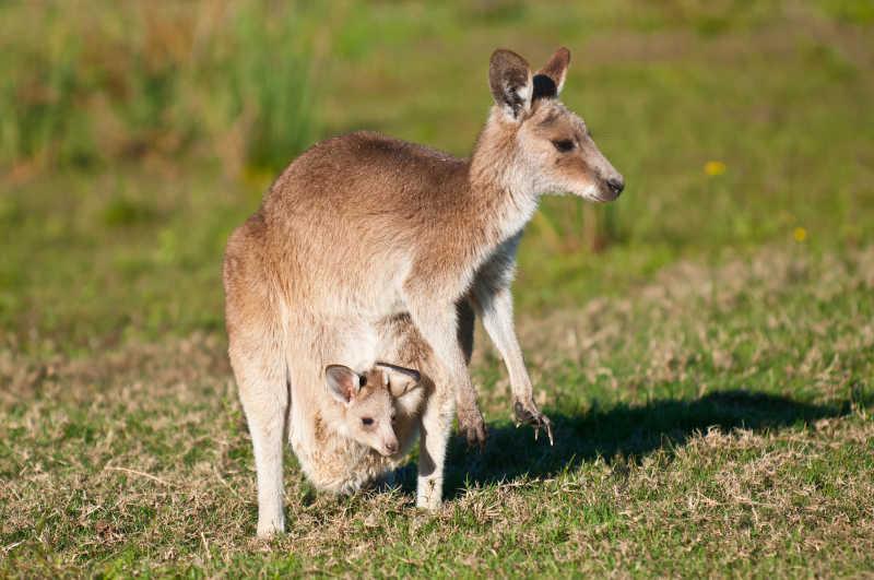两只野生的袋鼠母子
