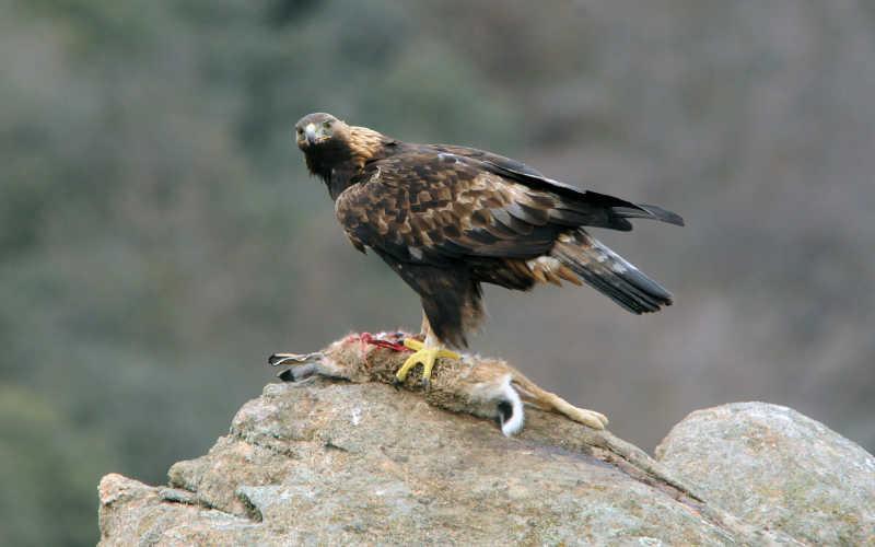 成功捕捉猎物的鹰
