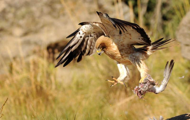 捕捉到猎物的鹰