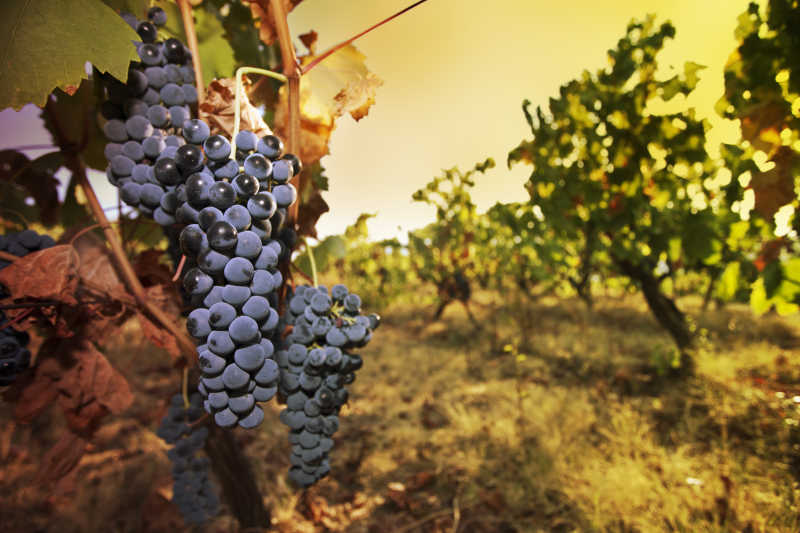 葡萄园里未采摘的葡萄