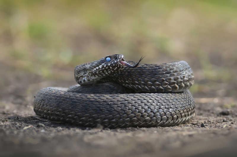 盘旋在地上的草甸蝰蛇