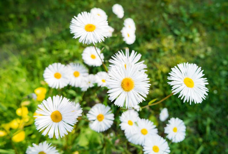 草地上生长的雏菊花