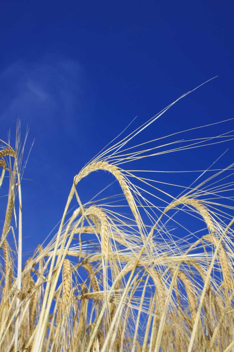 蓝天下的金色麦田背景