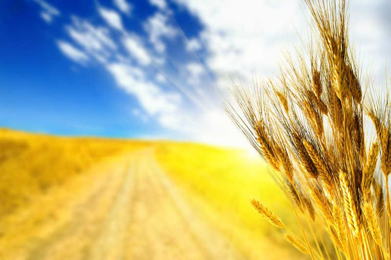 麦田里金灿灿的小麦