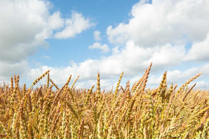 金色麦田里的饱满小麦