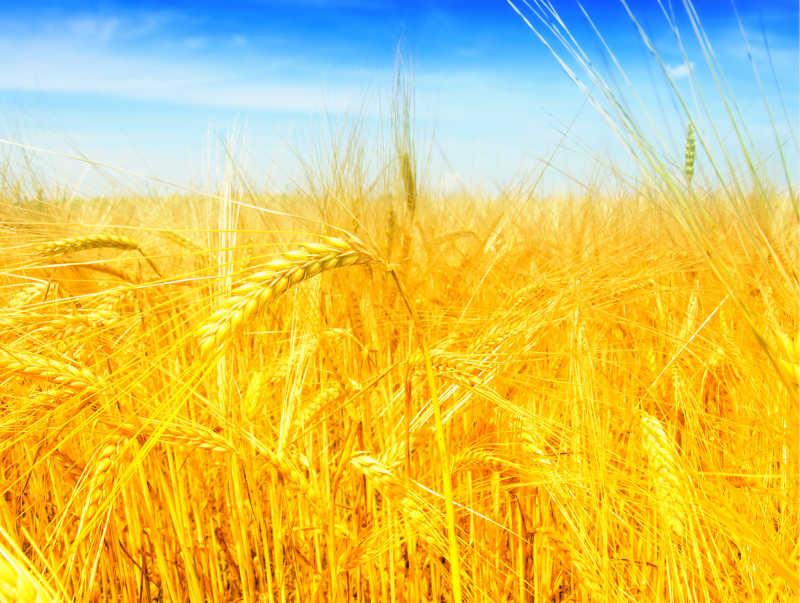 太阳下金黄色的麦田
