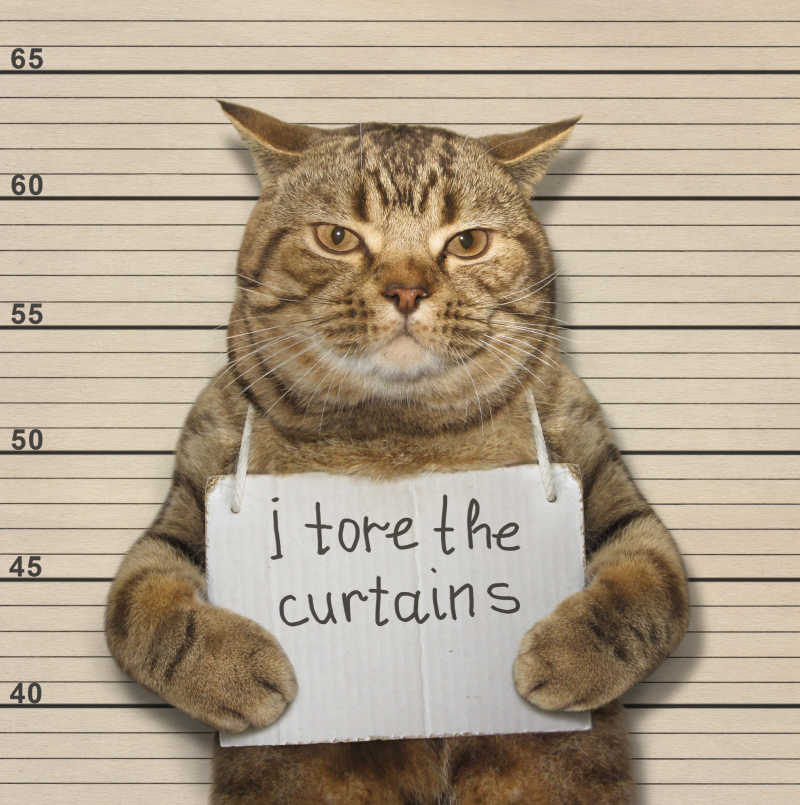 一个犯罪的苏格兰直猫