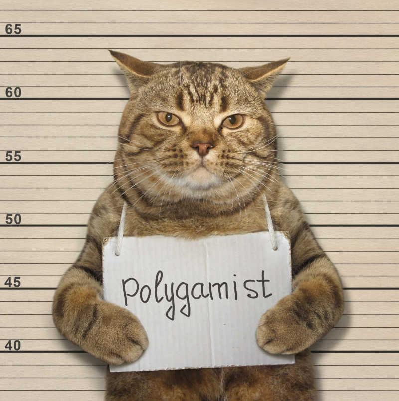 苏格兰直猫是一夫多妻制