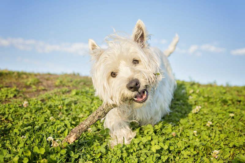 叼着木棍在野地奔跑的狗