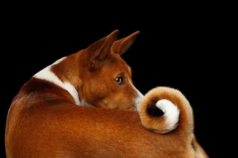 黑色背景下回头看钩尾巴的巴辛吉犬