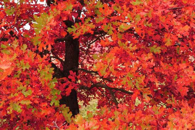 火红的树叶