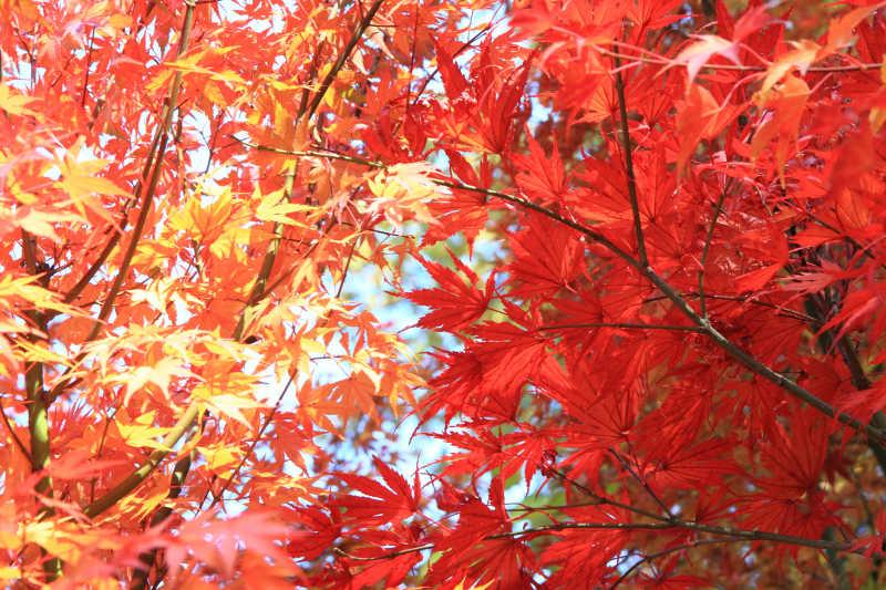 秋季户外红色和黄色的枫叶