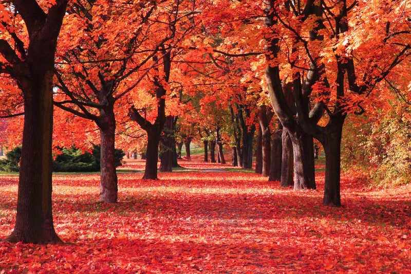 秋季森林红色树叶