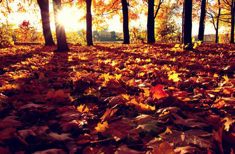 秋季森林枫叶
